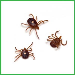 how ticks look like